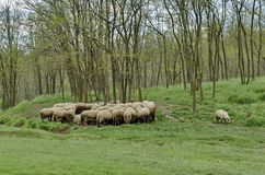 Background of sky, clouds, field, acacia forest and  flock sheep Stock Images
