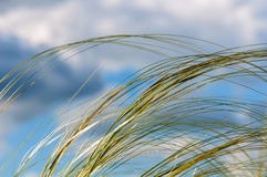 Background sky grass feather. Abstract natural decorative background of feather grass on a background of blue sky and clouds Royalty Free Stock Images