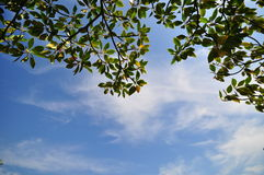 Background sky and tree leaf Royalty Free Stock Photos