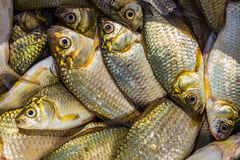 Background of small fish caught in the river crucian Stock Photo