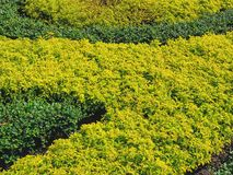 Background of Small Green Bush in the Park. Full Frame Background of Small Green Bush in the Park stock image