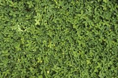 Background of small green leaves on rock royalty free stock photography
