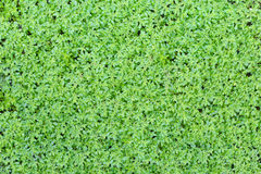 Background from small green plants Royalty Free Stock Image