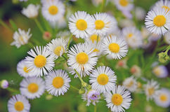 Background small light blue flowers wild daisies royalty free stock photo