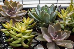 Background of small potted succulents in many shapes Stock Photo