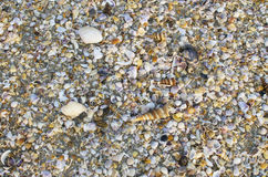 Background of small sea cockleshells Stock Photography