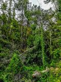 Background of small trees with very green climbing plants stock images
