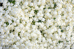 Background small white flowers Stock Photos