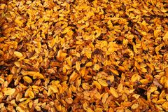 Background of small yellow leaves on the ground royalty free stock image