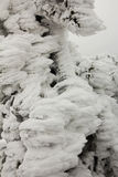 Background with snow-covered fir branches Royalty Free Stock Photography