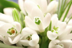 Background of the snowdrop flowers Stock Photography