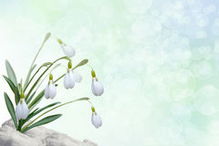 Background with snowdrops. Background for a card with snowdrops Stock Images