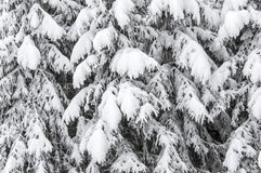 Background with snowy fir trees Royalty Free Stock Photography