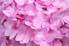 Background of Soft Pink Hydrangea Flowers Royalty Free Stock Images