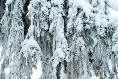 Background: a solid curtain of drooping living branches of a large fir, covered with snow after snowfall. Background - a solid curtain of drooping living Royalty Free Stock Photo