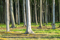 Background of some beech trees Stock Images