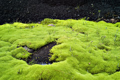 Background of some green moss in Iceland. Background of some green moss seen in Iceland Stock Photo