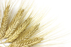 Background with spikelets of rye Stock Image