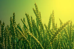 Background with spikes of oats in the morning light Royalty Free Stock Photos