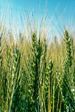 Background with spikes of oats Royalty Free Stock Photos