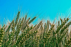 Background with spikes of oats 3 Royalty Free Stock Photo