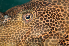Background with spotty fish Royalty Free Stock Image