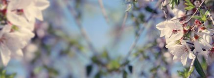 background of spring almond blossoms tree. selective focus. stock images
