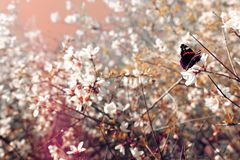 background of spring cherry blossoms tree and beautiful butterfly collects nectar from the flower. selective focus. stock photos