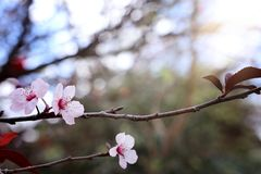 Background of spring cherry blossoms tree. selective focus.  stock images