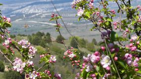 Background Spring Flowering. This stock video shows a background of spring flowers blooming in the valley, and a hummingbird flies near to pink flowers to feed stock video footage