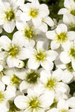 Background of spring flowers white Saxifraga paniculata Royalty Free Stock Photography