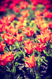 Background of spring tulips under sun toned in vintage style Royalty Free Stock Photography