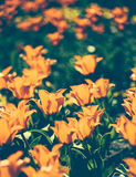 Background of spring tulips under sun toned in vintage style Royalty Free Stock Images