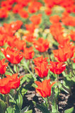 Background of spring tulips under sun toned in vintage style Stock Image