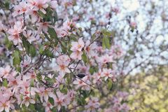 background of spring white cherry blossoms tree. selective focus. Royalty Free Stock Photos