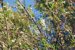 Background of spring white cherry blossoms tree Stock Photos