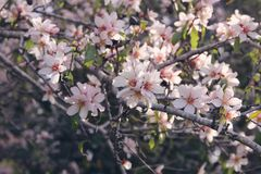 background of spring white cherry blossoms tree. selective focus. Stock Image