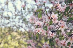 background of spring white cherry blossoms tree. selective focus. Royalty Free Stock Photo