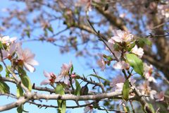 background of spring white cherry blossoms tree. selective focus. Stock Images