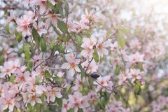 background of spring white cherry blossoms tree. selective focus. Stock Photography