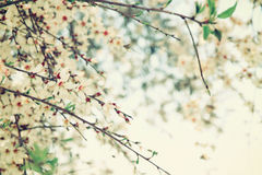 Background of spring white cherry blossoms tree Stock Photo