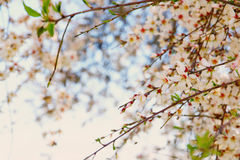 Background of spring white cherry blossoms tree Royalty Free Stock Image