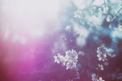 Background of spring white cherry blossoms tree Stock Photography