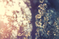Background of spring white cherry blossoms tree Stock Images