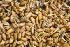 Sprouting wheat grain background Royalty Free Stock Image