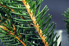 Background of spruce branches royalty free stock photography