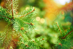 Background of spruce branches. Background of Green spruce branch Royalty Free Stock Photos