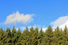 Background of Spruce Tree Tops and Blue Sky with White Clouds. Natural Background with fir or spruce tree tops and blue sky with fluffy white clouds. Great for stock photography