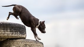 Background with stafford terrier jumping Royalty Free Stock Photos