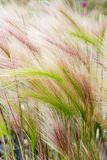 Background of Stipa grass royalty free stock photography